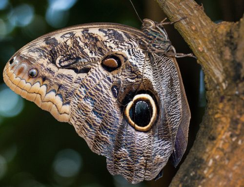 La mariposa negra, puede indicar muerte